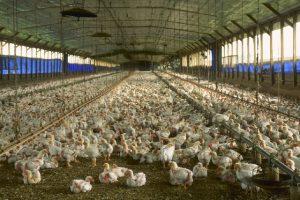 Florida chicken house (USDA)